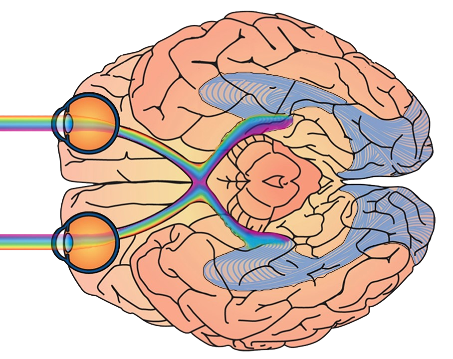 cerebro visual